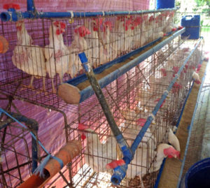 Chicken Farming - small